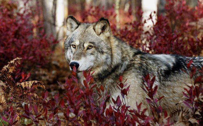 lupo-foglie-rosse